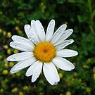 White Daisy by Jonathon Wuehler