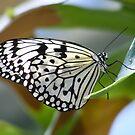 White Swallowtail by Jonathon Wuehler
