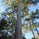 Valley gum, Blue Mountains of NSW, Australia by Catherine Davis