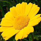 Yellow Daisy by Jonathon Wuehler