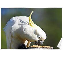 Sulphur Crested Cockatoo. Cedar Creek, Queensland, Australia. (5) Poster