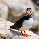 Puffin (fratercula artica), Saltee Islands, County Wexford, Ireland by Andrew Jones