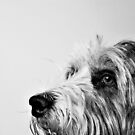Bearded Collie by Anne Staub by Anne Staub