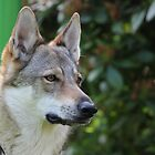 Heket - Czechoslovakian Wolfdog by karina5