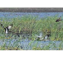 Osprey attack Photographic Print