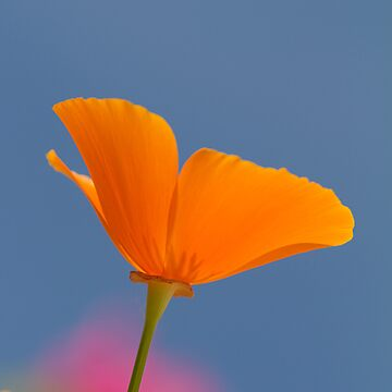 orange poppy by Carine LUTT