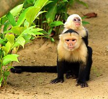 white faced capuchin by Dirk van Laar