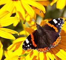 Red Admiral;Yellow Flower by Violaman