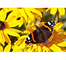 Red Admiral;Yellow Flower Photographic Print