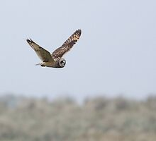 Short-eared Owl in Flight by Nigel Tinlin