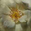 Antique Rose by jacqi