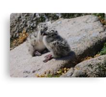Great Black-backed Gull chicks, Saltee Island, County Wexford, Ireland Canvas Print