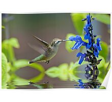 Humming Bird Over Water Poster