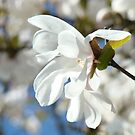 Blue Sky Floral art prints White Magnolia Tree Flower by BasleeArtPrints
