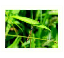 Red Damsel Fly Art Print