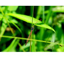 Red Damsel Fly Photographic Print