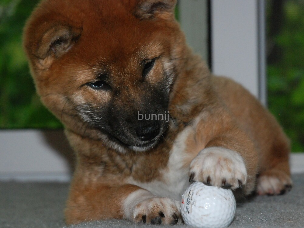 Momo-Our New Shiba Inu Pup by bunnij