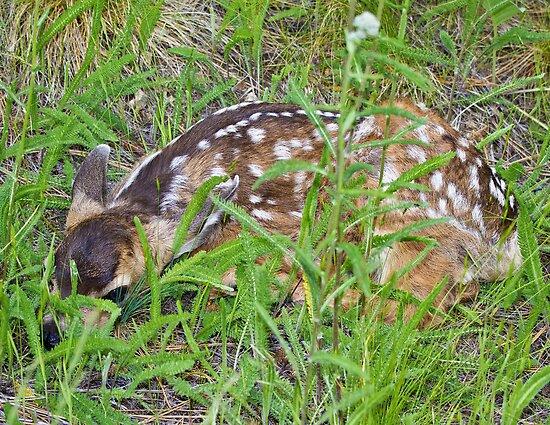 Mule deer fawn by amontanaview