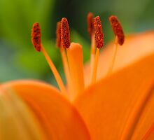 Orange Beauty by vbk70