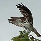 The Magnificence of the Osprey by David Friederich