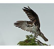 The Magnificence of the Osprey Photographic Print