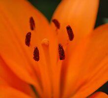 Orange Beauty IV by vbk70