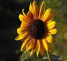 """""""Sunflower Soakin' It In"""" by dfrahm"""