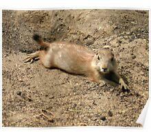 baby prairie dog portrait Poster