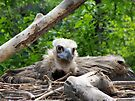 Cinereous in the Nest by Veronica Schultz