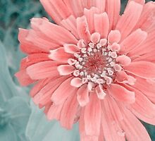 """Zinnia In """"Soft"""" by Catherine  Howell"""