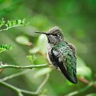 Anna&#x27;s Hummingbird  by Saija  Lehtonen