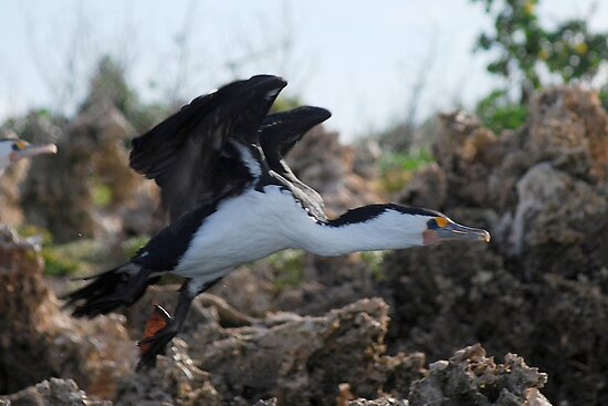 Pied Comorant in take off mode by Ian Berry