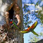 Rainbow Lorikeets - Sydney - Australia by Bryan Freeman