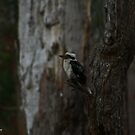'There Came a Kookaburra' - Denmark WA by Brien Bland