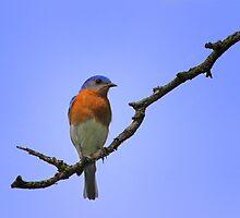 Male Eastern Bluebird by John Absher