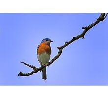 Male Eastern Bluebird Photographic Print