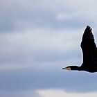 Flying Cormorant  by alistair simpson