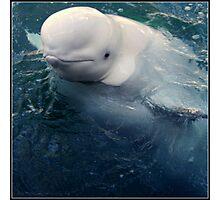 Curious beluga Photographic Print