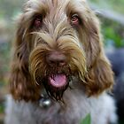 Italian Spinone ~ Ruben 0827 by heidiannemorris