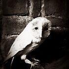 Barn owl by Jason Feather