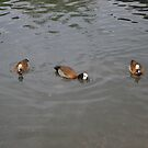 Ducks by Kat Wigley