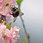 Cherry blossoms and  bee ... by Gregoria  Gregoriou Crowe