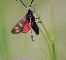 six-spot burnet moth by Declan Carr