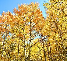 Colorado Aspen Groves and Fall Colors by Amy McDaniel