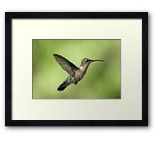 Another Hovering Hummingbird. Framed Print