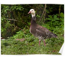 Blue Phase Snow Goose Poster