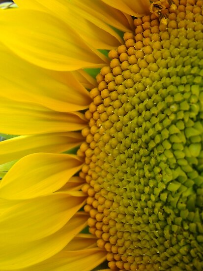Sunflower Glory~ by virginian