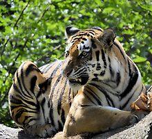Amur Tiger Baring Teeth by Heidi Snyder