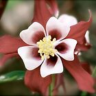 Columbine by hcorrigan