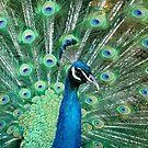 Peacock by Michelle Callahan